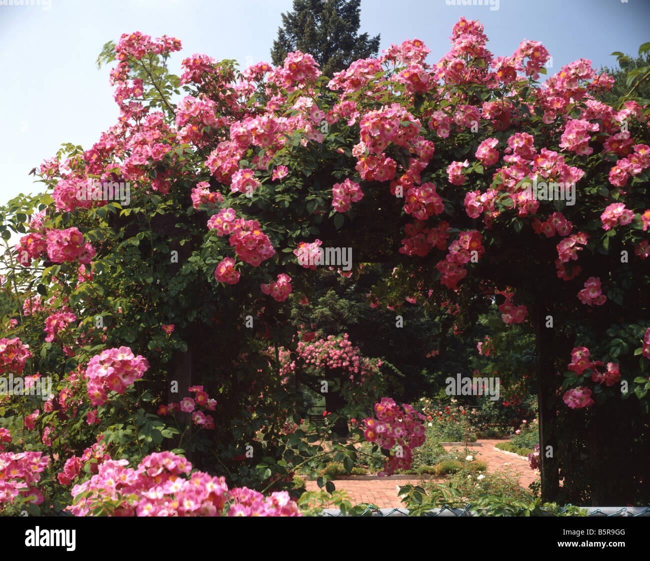Gemeinsame Rosen auf Spalier Stockfoto, Bild: 20796064 - Alamy &CP_48