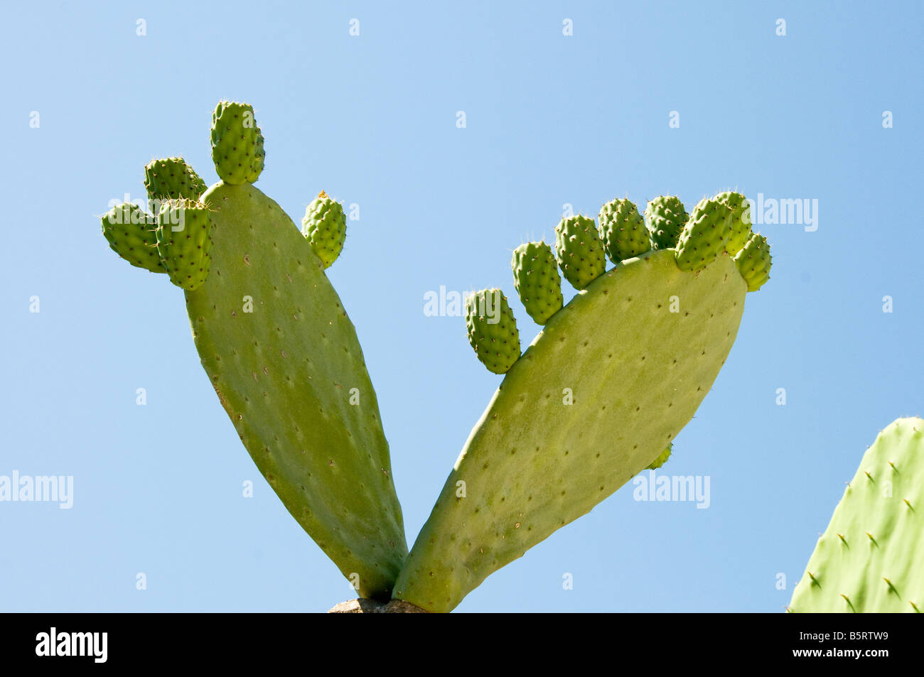 Prickly Pear Cactus Stockfoto