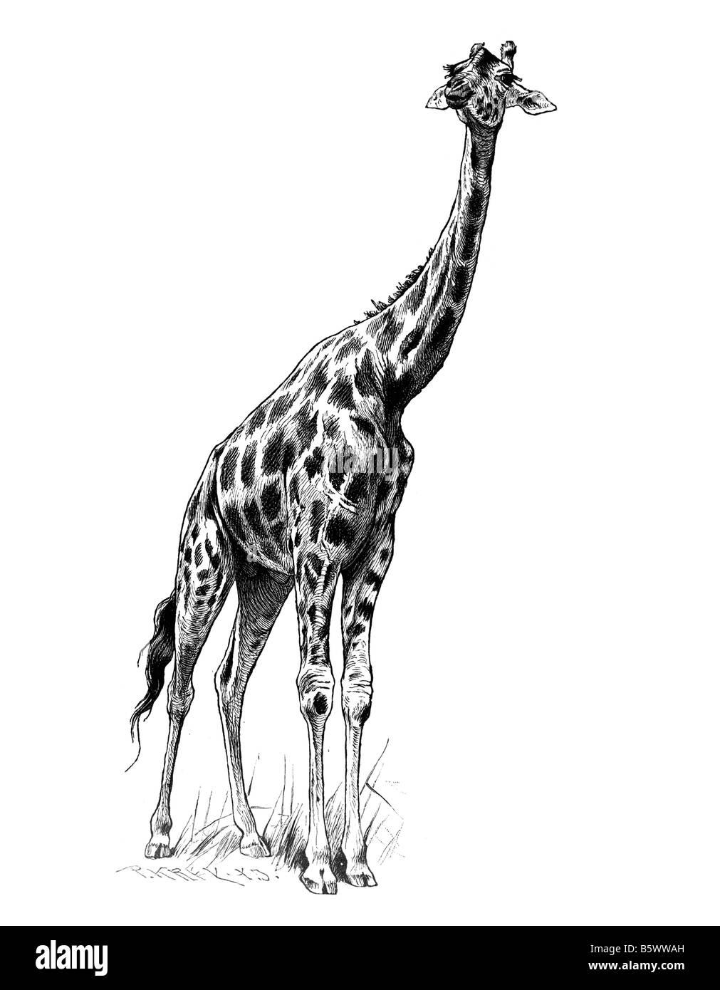 Giraffe (Giraffa Plancius), Familie Giraffidae Gattung Giraffa Stockfoto