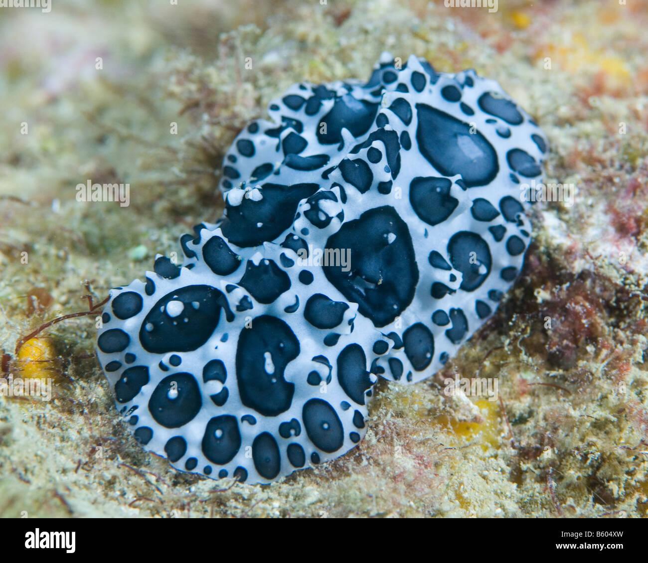 Schwarz und weiß klumpig holprigen Nacktschnecken kriecht über das Korallenriff. Stockbild