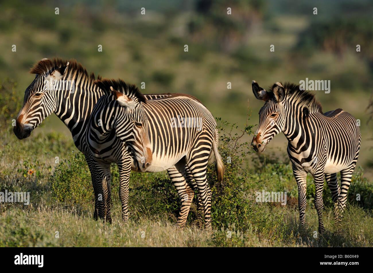 GREVY Zebra oder Imperial Zebra (Equus Grevyi), Herde, Samburu National Reserve, Kenia, Afrika Stockfoto