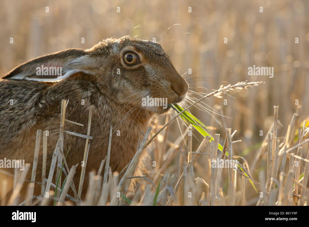 Europäische oder brauner Hase (Lepus Europaeus) Fütterung, Föhr, Schleswig-Holstein, Deutschland, Europa Stockfoto