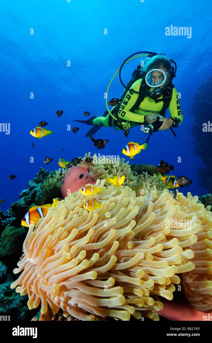 Amphiprion Bicinctus und Heteractis Magnifica Rotes Meer Anemonefishes in herrlichen Seeanemone oder Ritteri Anemone, Stockbild