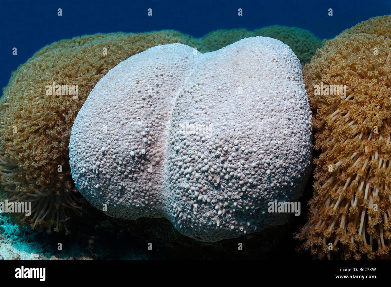 Seltsam geformte Flower Pot Coral (Goniopora SP.), Selayar Insel, West Coast, Süd-Sulawesi, Indonesien, Java Stockbild