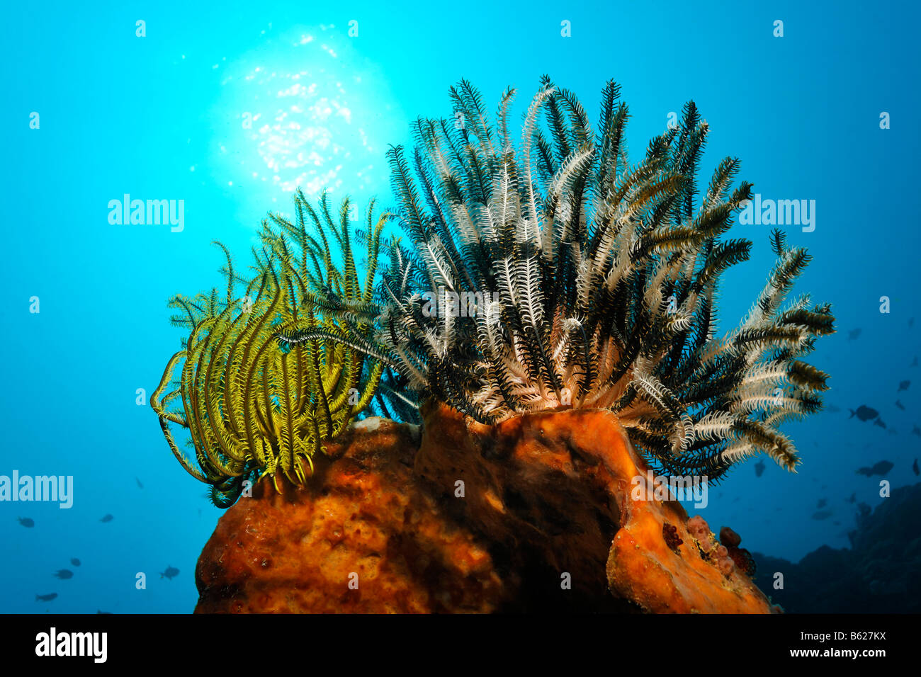 Black Crinoid, Meer Lilie oder Feder-Star (Oxycomanthus Bennetti), Klettern auf einen Schwamm, Selayar Island, West Stockbild