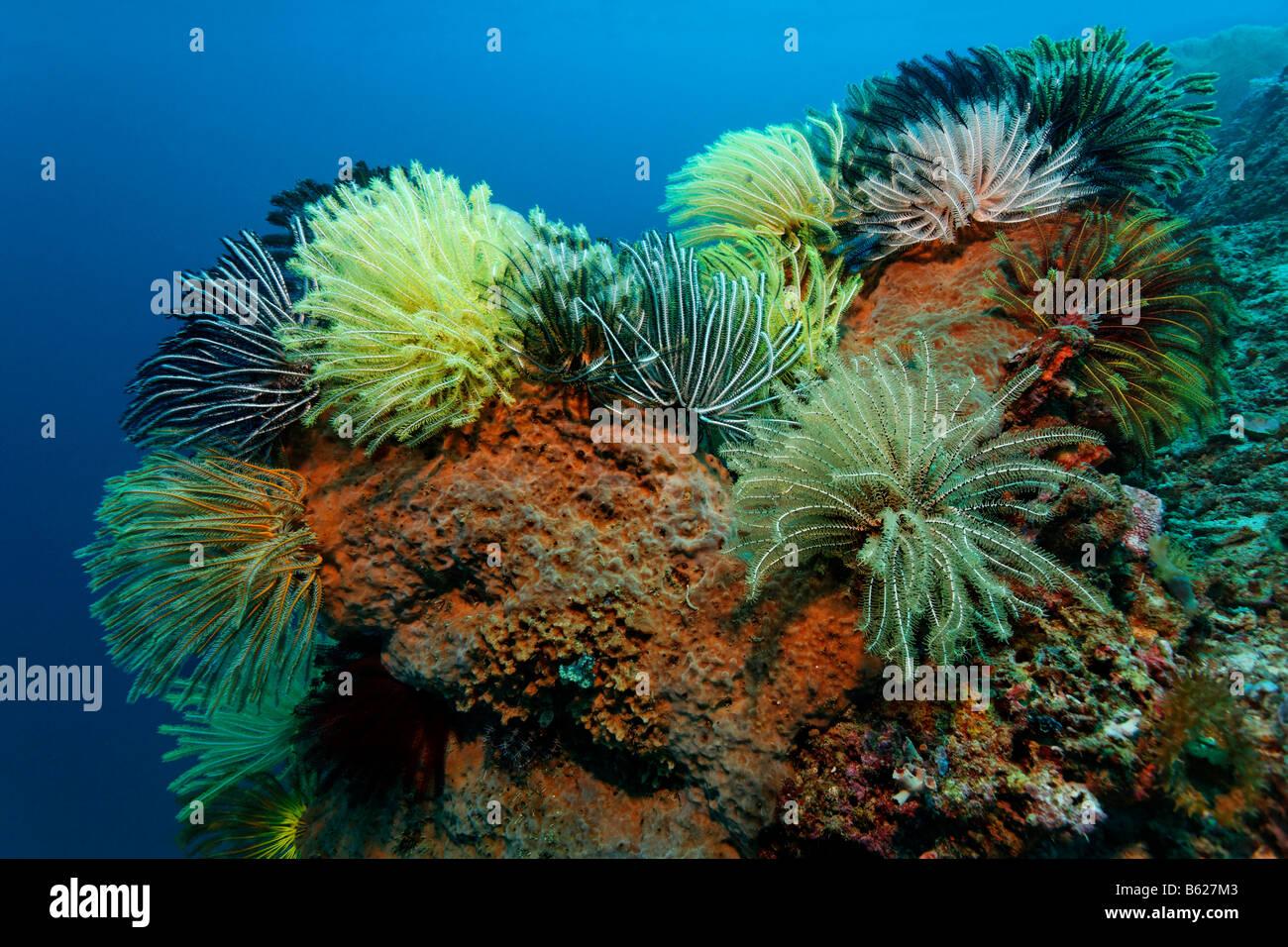 Multi-Coloured Black Crinoid, Meer Lilie oder Feder-Star (Oxycomanthus Bennetti), Klettern auf einen Schwamm, Selayar Stockbild