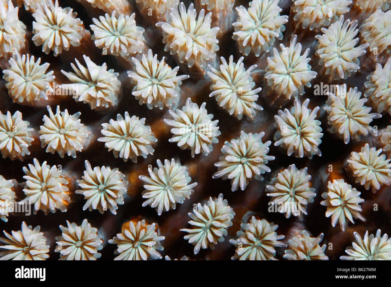 Grafischen Struktur der Galxy Coral (Galaxea Fascicularis), Selayar Island, West Coast, Süd-Sulawesi, Indonesien, Stockbild