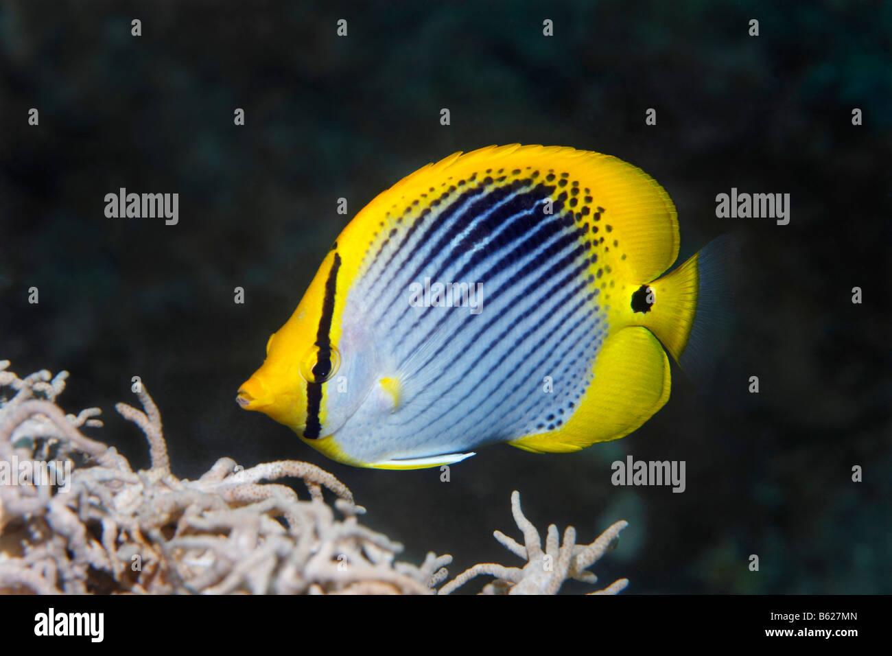 Blackback Butterflyfish (Chaetodontidae Melannotus), Selayar Island, West Coast, Süd-Sulawesi, Indonesien, Stockbild
