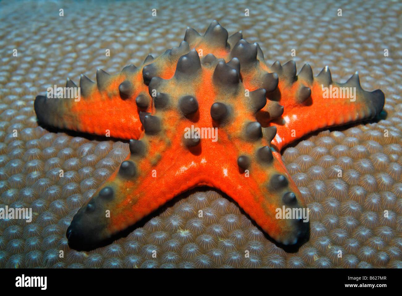 Knorrige großen Seestern (Proteaster Nodosus), Madrepore, Selayar Island, West Coast, Süd-Sulawesi, Indonesien, Stockbild