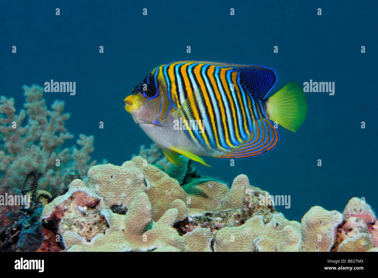 Königliche Kaiserfisch (Pygoplites Diacanthus), Korallen-Riff, Selayar Island, West Coast, Süd-Sulawesi, Stockbild