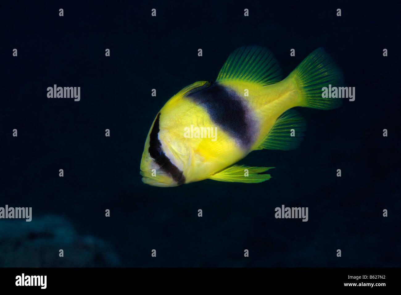 Verjährt Soapfish (Diploprion Bifasciatum), Selayar Island, West Coast, Süd-Sulawesi, Indonesien, Java Stockbild