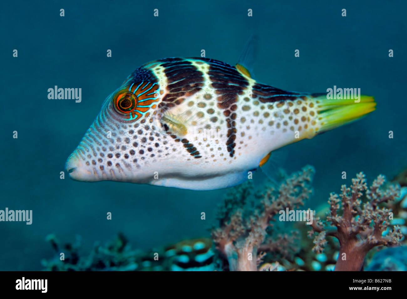 Valentinni Scharfnasenhai Kugelfisch (Canthigaster Valentini), Korallen Riff, Selayar Island, West Küste, Süd Stockbild