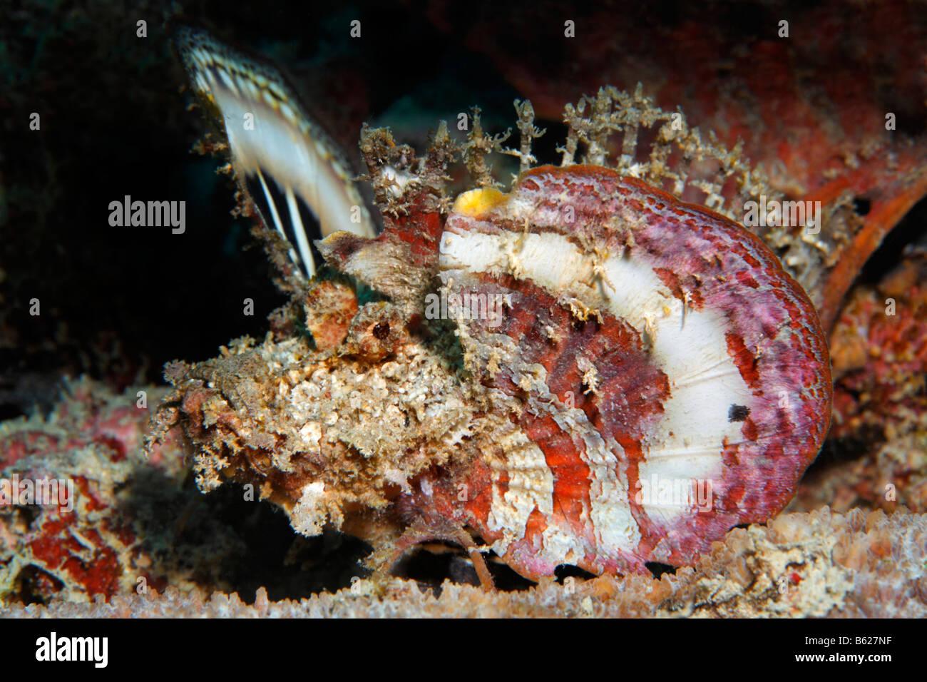 Bärtige Ghul (Inimicus Didactylus), seine Brustflossen als Warnung, zu verbreiten, Selayar Island, West Coast, Stockbild