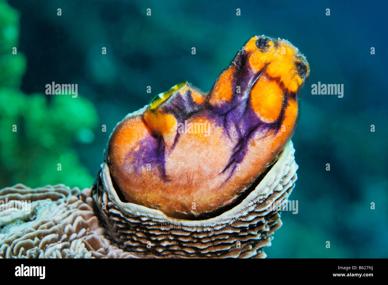 Seescheide (Polycarpa Aurata) wächst in den Madrepore, Selayar Island, West Coast, Süd-Sulawesi, Indonesien, Stockbild