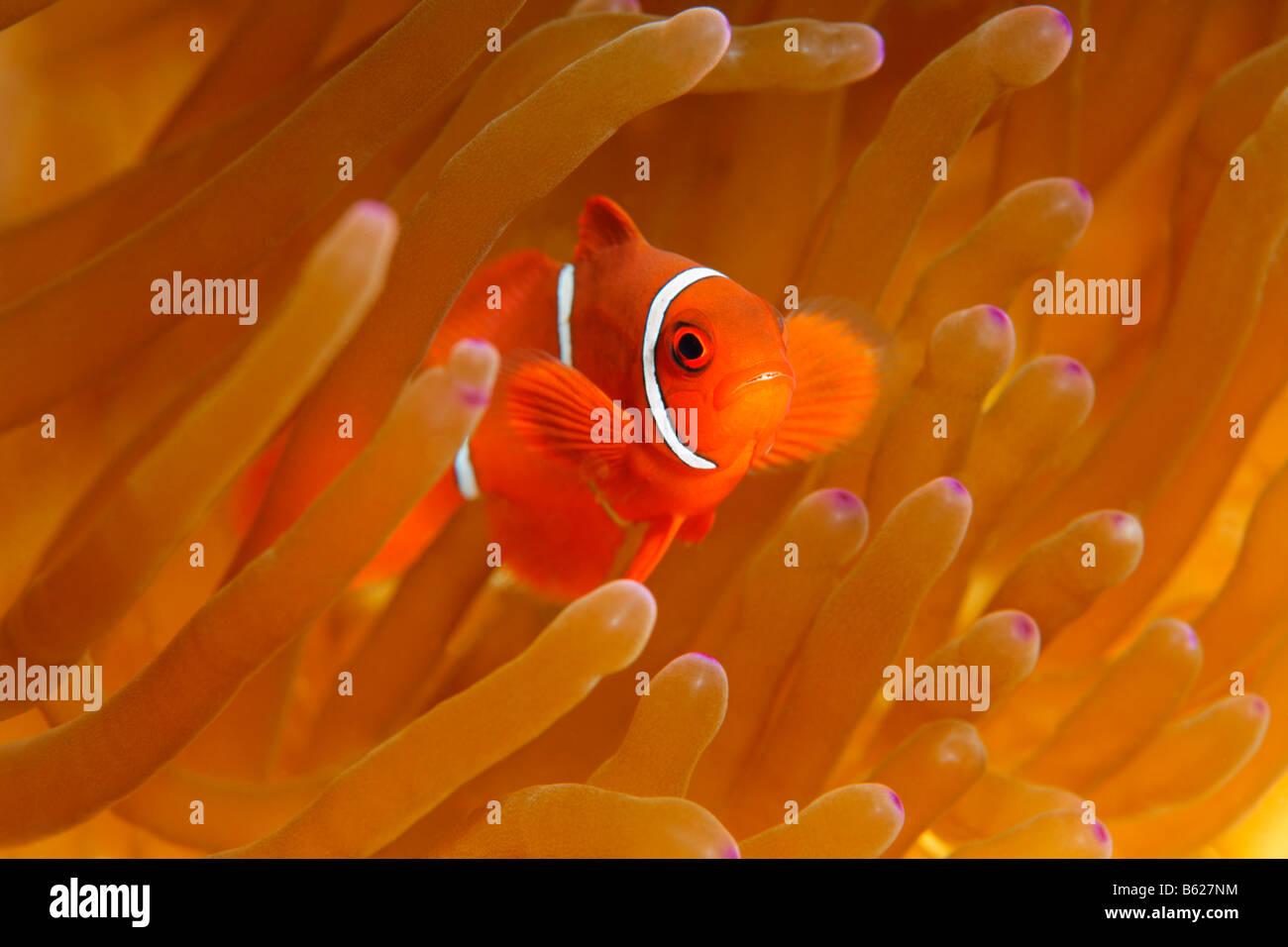 Young Maroon Clownfische (Premnas Biaculeatus), herrliche Seeanemone oder Ritteri Anemone (Heteractis Magnifica), Stockbild