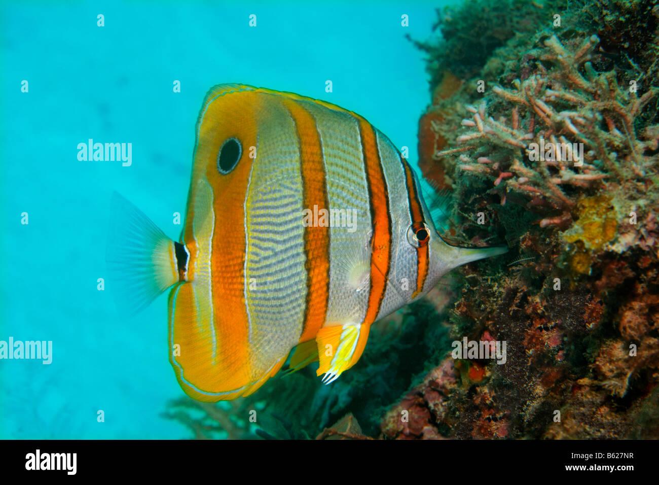 Copperband Butterflyfish oder Schnabel Coralfish (Chelmon Rostratus), Essen, picken, Selayar Island, West Coast, Stockbild