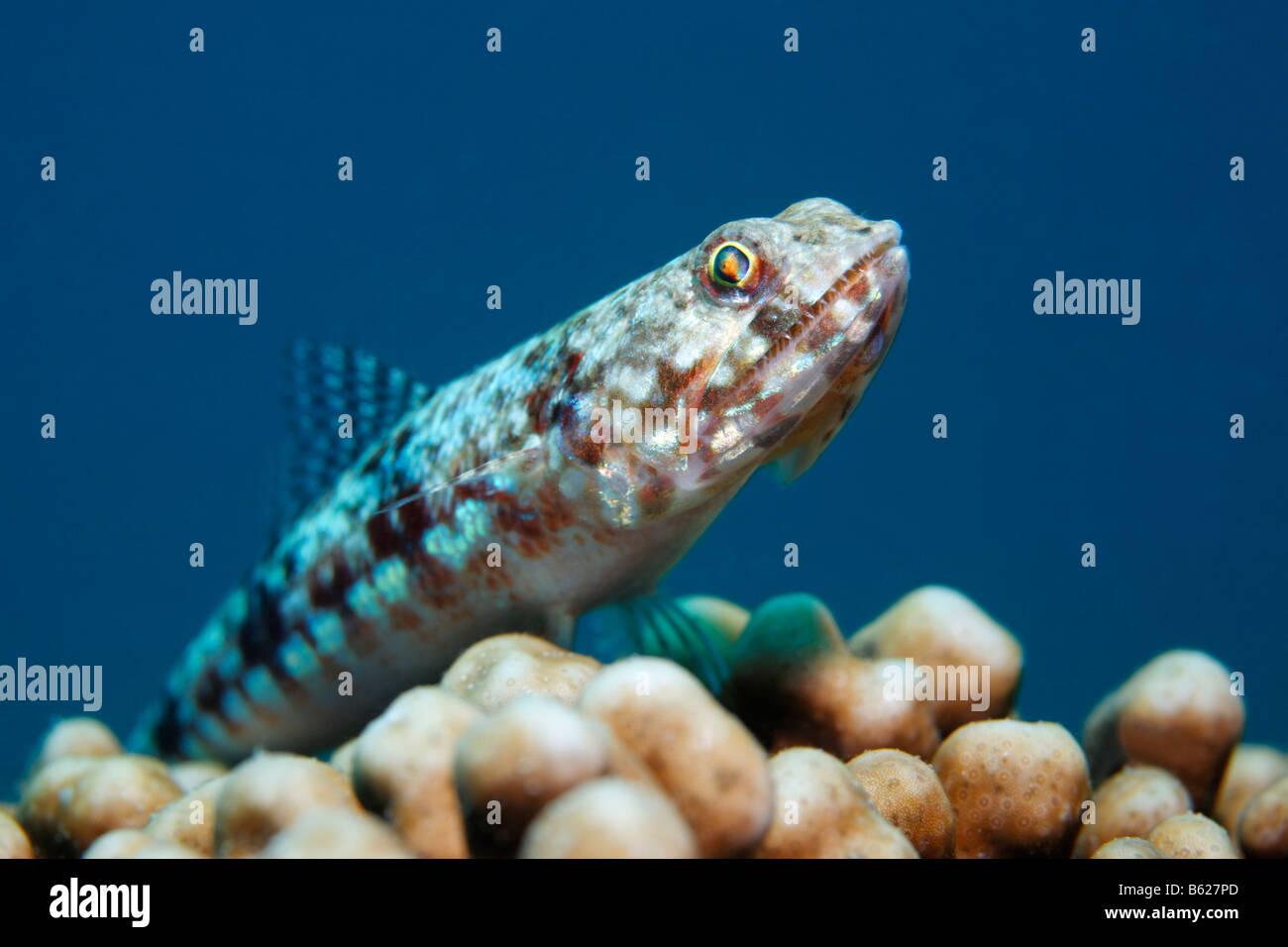 Bunte Eidechsenfisch (Synodus Variegatus), lauern auf Madrepore nach Beute, Selayar Island, West Coast, Süd Stockbild