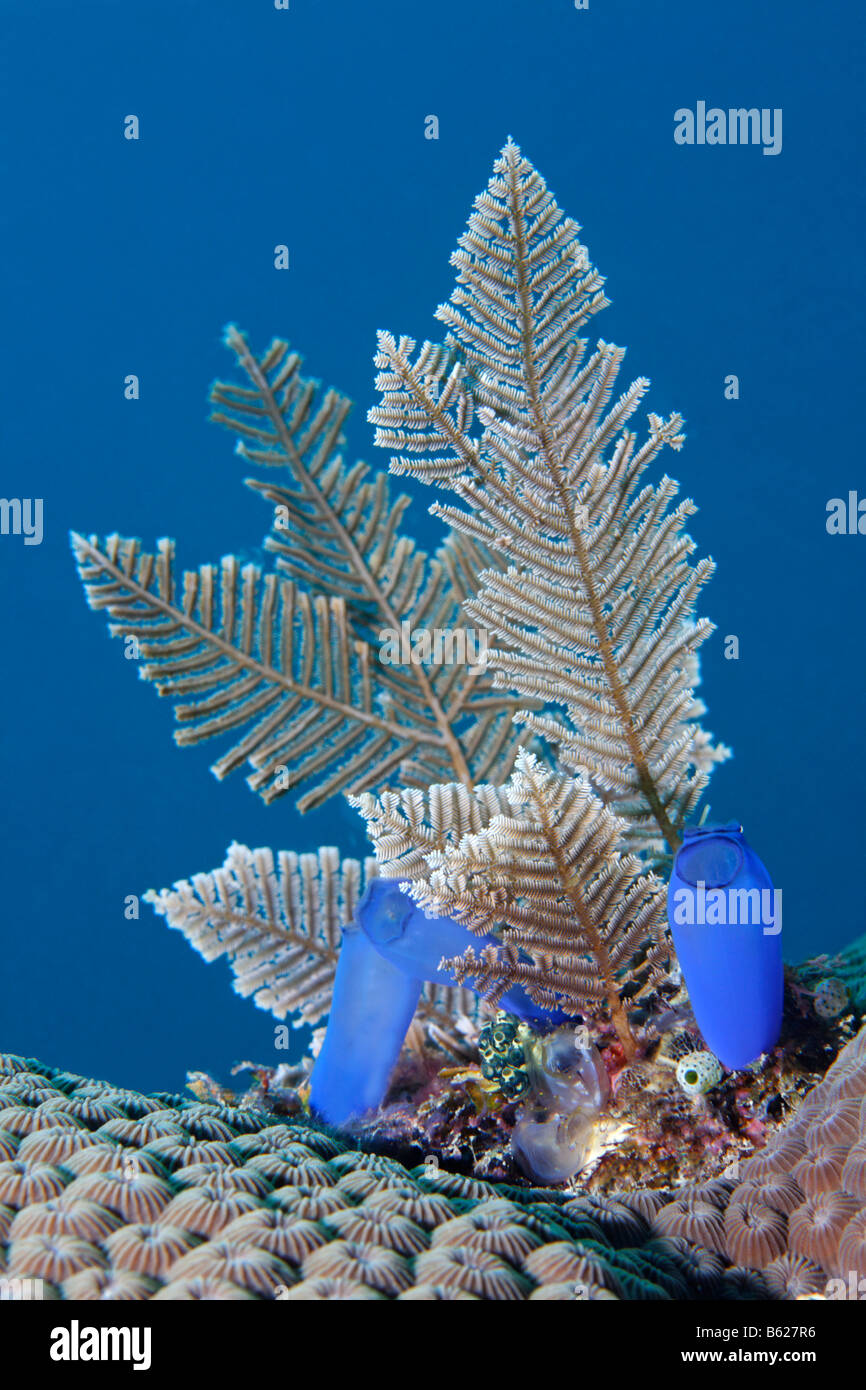 Stark gefiederten Feder Hydroid (Aglaophenia Cupressina), Blaue Seescheiden (Rhopalaea Crassa), Selayar Island, Stockbild