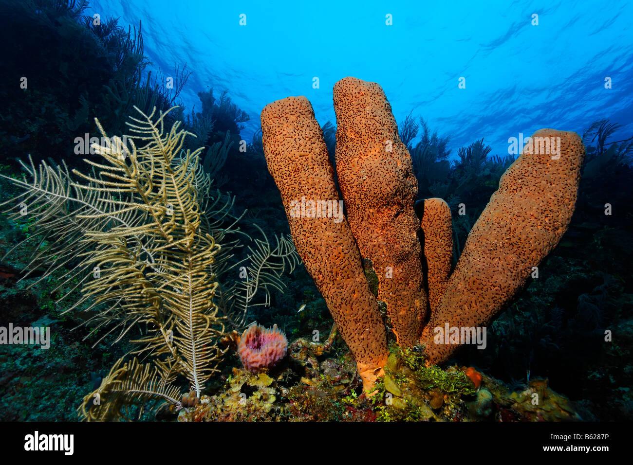 Braune Röhre Schwamm (Agelas Conifera) auf einer Felswand in einem Korallenriff mit Meer Plume (Pseudopterogorgia Stockbild