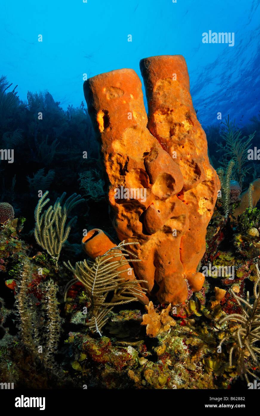 Gelbe Rohr Schwamm (Aplysina Fistularis) von Fisch stehen am Rand einer Klippe in einem Korallenriff, Hopkins, Dangria, Stockbild
