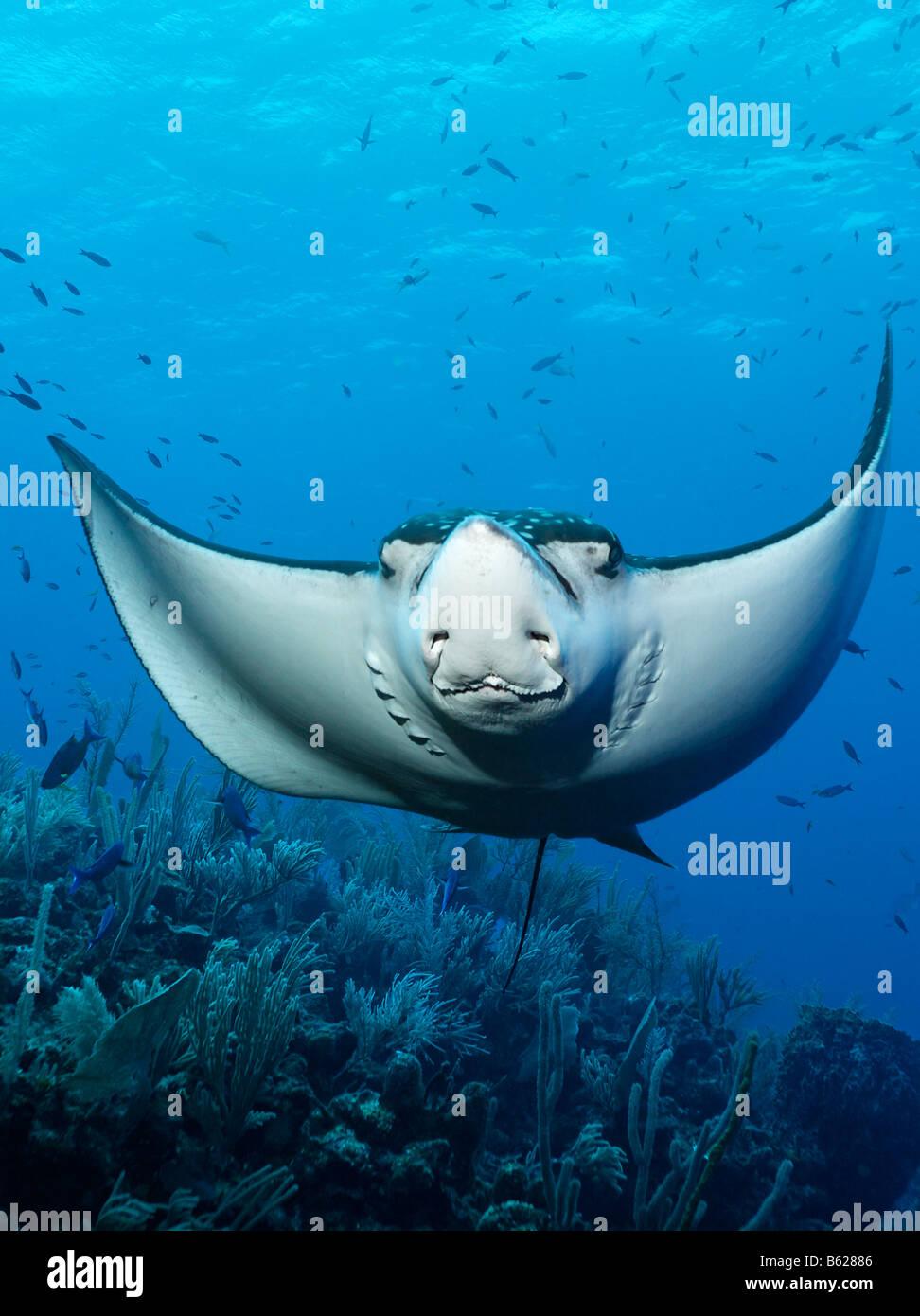 Gefleckter Adlerrochen (Aetobatus Narinari) von vorne, frontal, Schwimmen über ein Korallenriff, Hopkins, Dangria, Stockbild