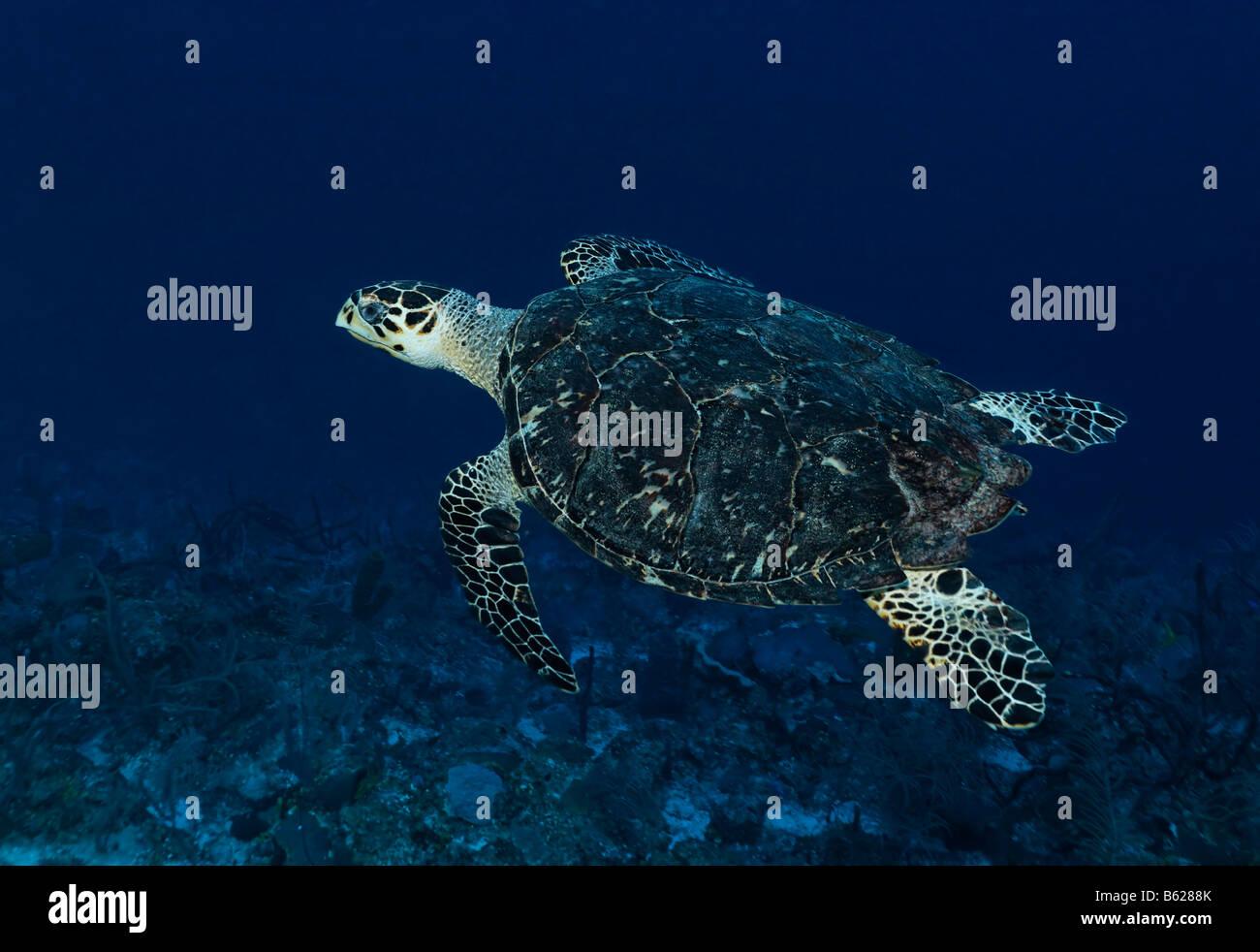 Echte Karettschildkröte (Eretmochelys Imbricata) Schwimmen im blauen Wasser hoch über einem Korallenriff, Stockbild