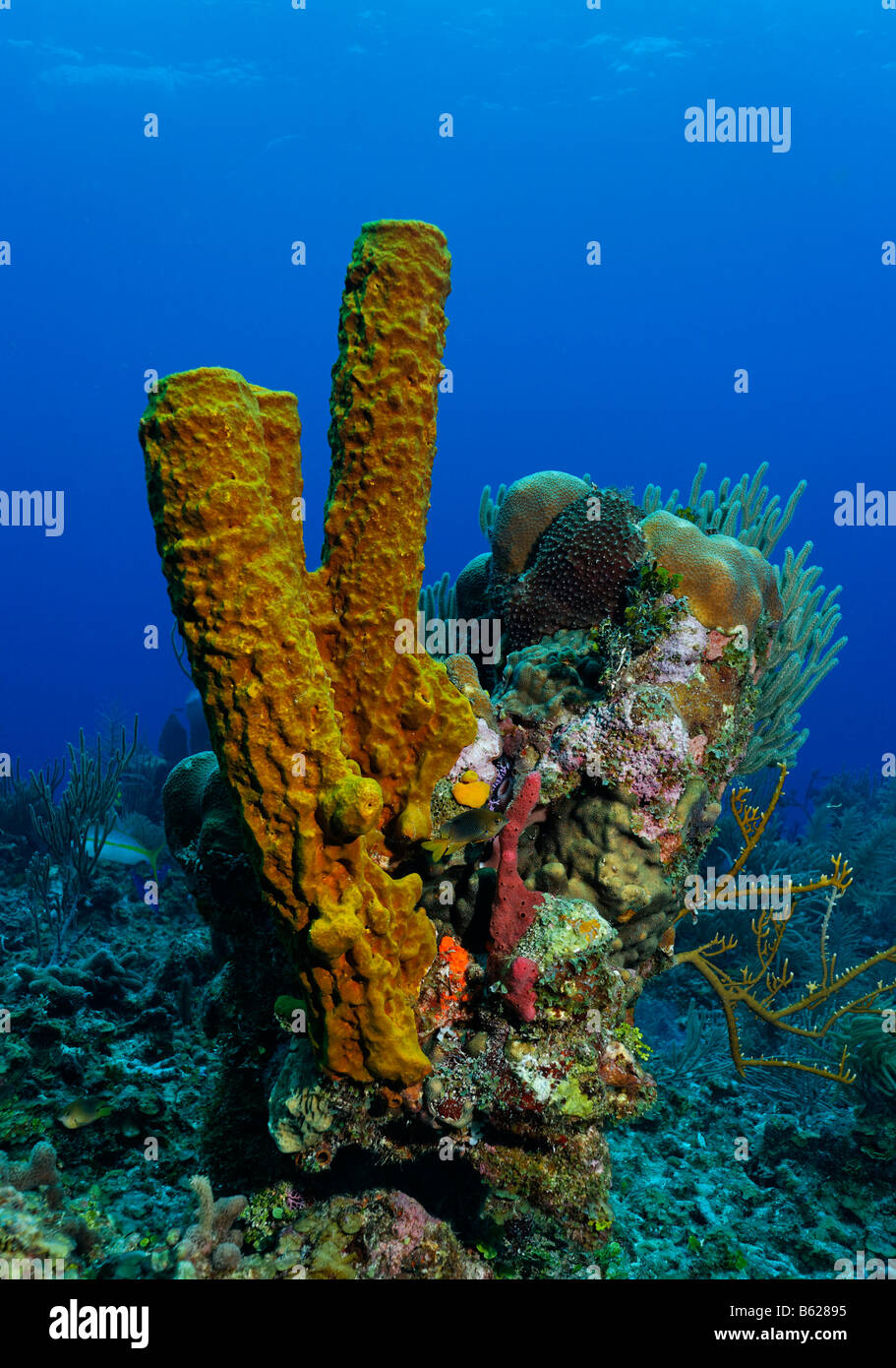 Kleine, mehrfarbige Korallenblock mit verschiedenen Schwämmen und Korallen, gelbe Rohr Schwamm (Aplysina Fistularis), Stockbild