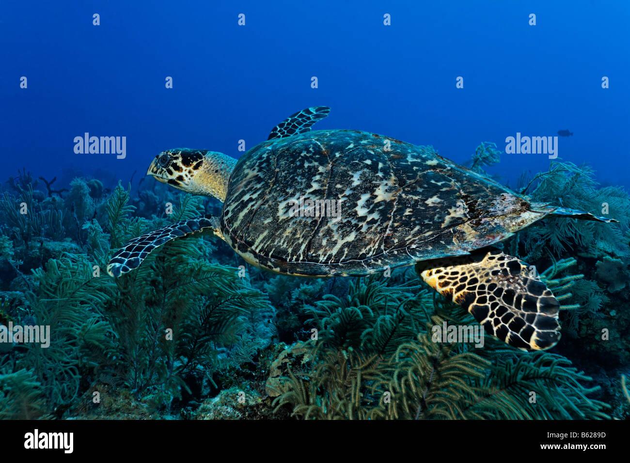 Echte Karettschildkröte (Eretmochelys Imbricata) in einem Korallenriff, Turneffe Atoll, Belize, Mittelamerika, Stockbild