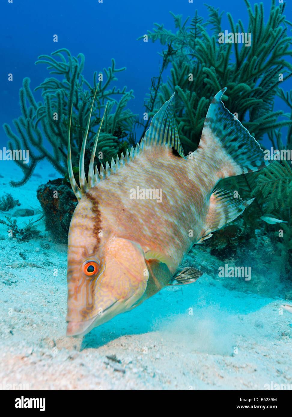 Lippfische (Lachnolaimus Maximus) suchen in den sandigen Meeresboden nach Nahrung, Hopkins, Dangria, Belize, Mittelamerika, Stockbild