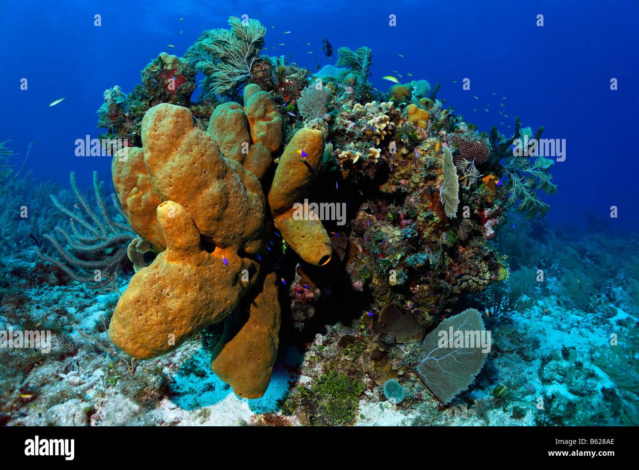 Block von Korallen mit braun Röhrenschwämmen (Agelas Conifera) und diverse Korallen, Turneffe Atoll, Belize, Stockbild
