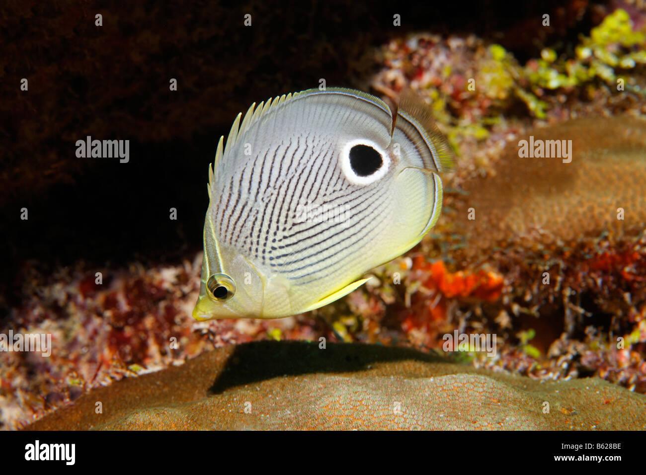 Foureye Butterflyfish (Chaetodontidae Capistratus) schwimmen durch ein Korallenriff, Barrier Reef, San Pedro, Ambergris Stockbild