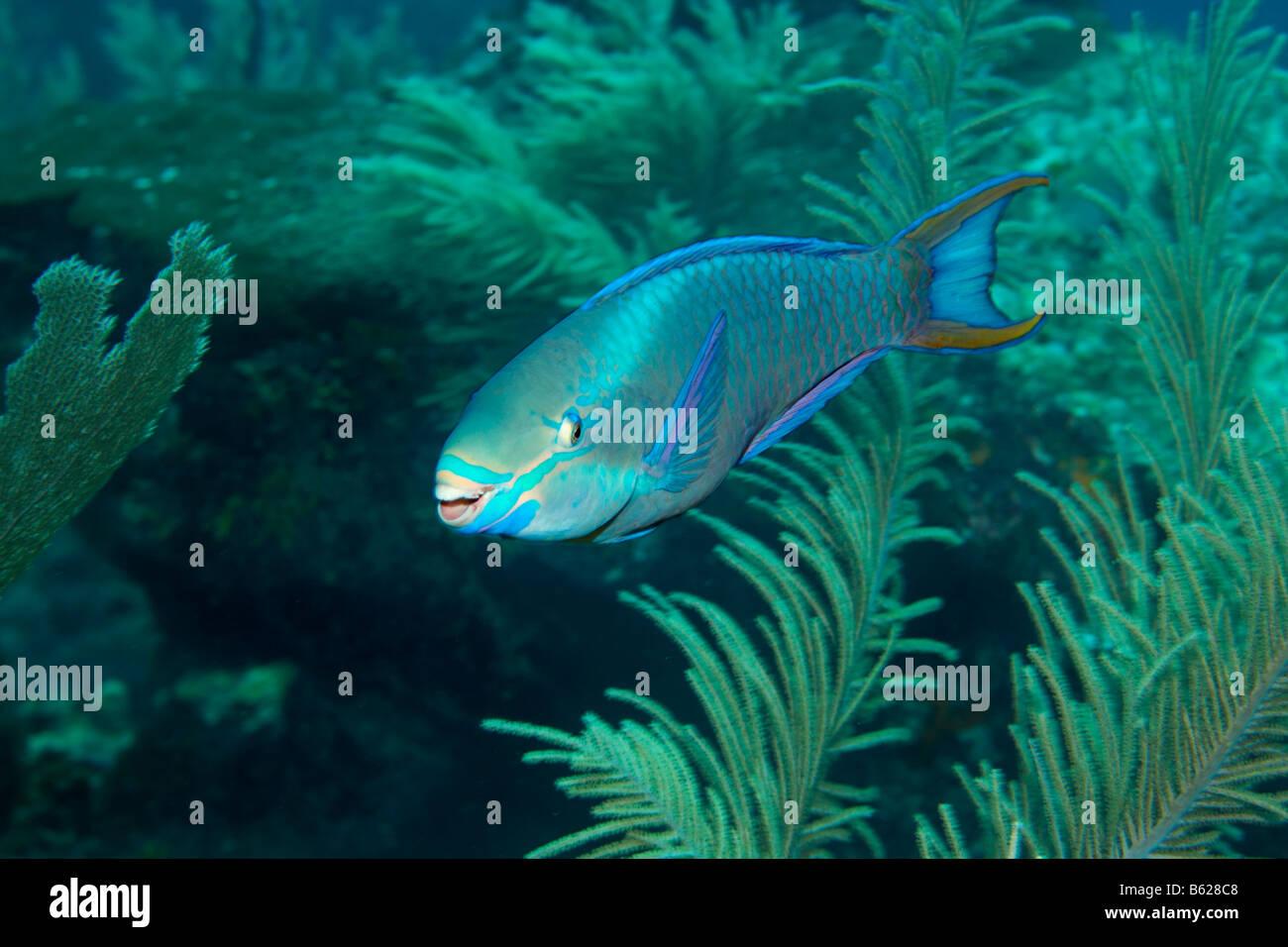 Queen-Papageienfisch (Scarus Vetula), Weichkorallen, Barrier Reef, San Pedro, Ambergris Cay Insel, Belize, Mittelamerika, Stockbild
