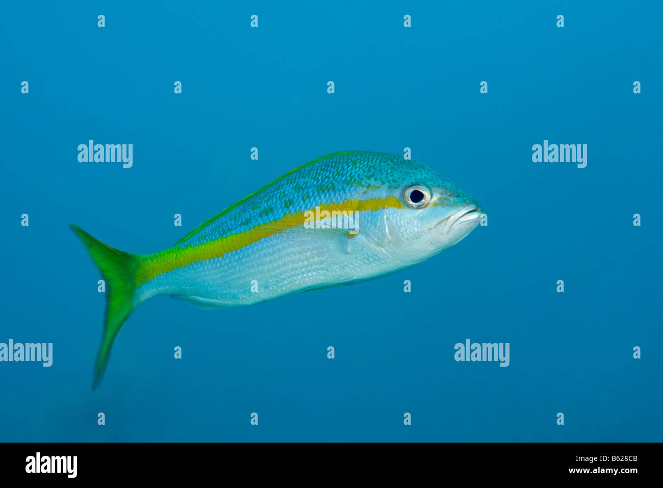 Yellowtail Snapper (Ocyurus Chrysurus) im blauen Wasser, Barrier Reef, San Pedro, Ambergris Cay Insel, Belize, Mittelamerika, Stockbild