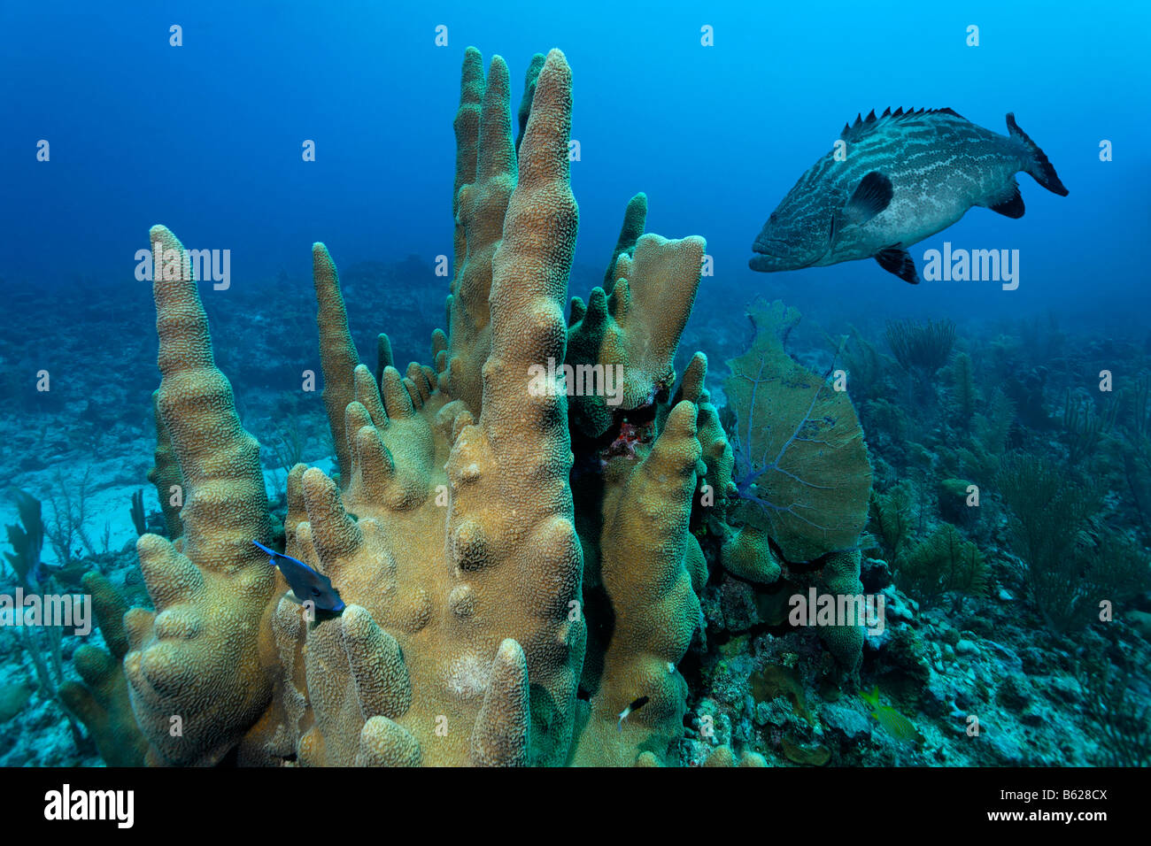 Säule Korallen (Dendrogyra Cylindricus) und Black Grouper Fisch (Mycteroperca Bonaci), Barrier Reef, San Pedro, Stockbild