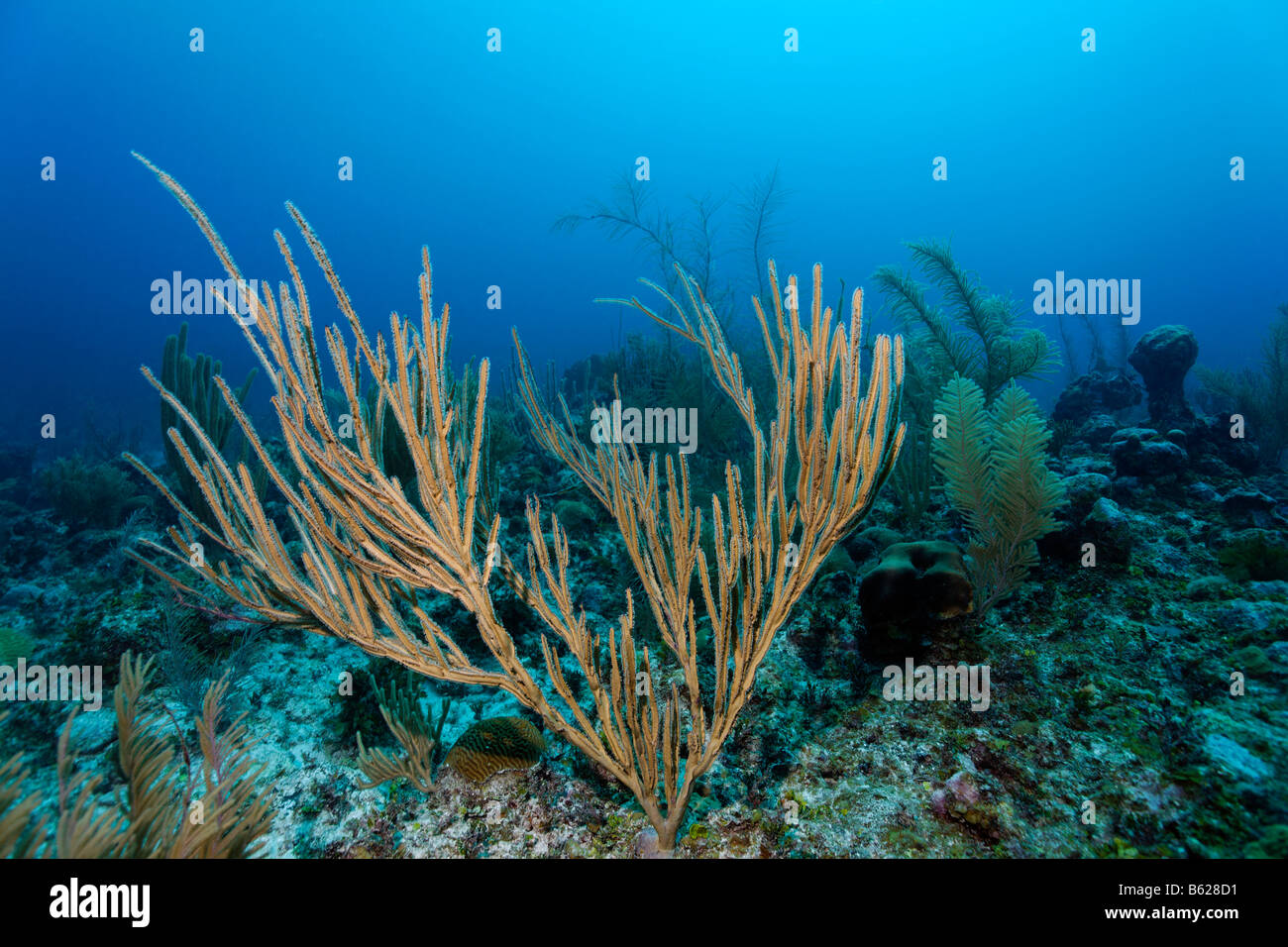Angular Meer Peitsche (Pterogorgia Anceps) wächst auf einem Korallenriff auf dem Barrier Reef bei San Pedro, Stockbild