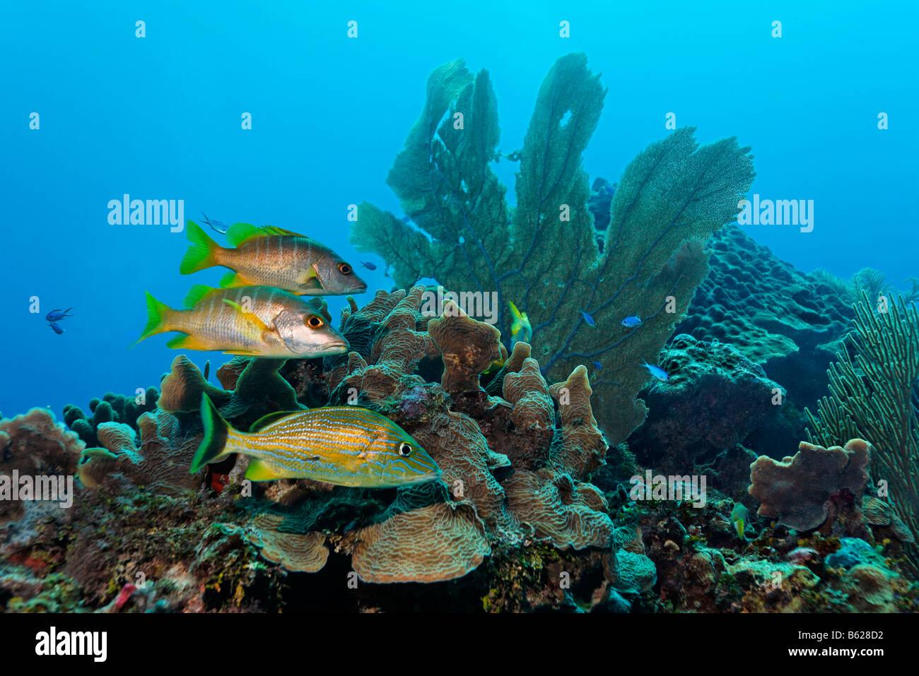 Halten Grunzen Fische (Sciurus Haemulon) und zwei Schulmeister-Schnapper (Lutjanus Apodus) schwimmen in einem Korallenriff Stockbild