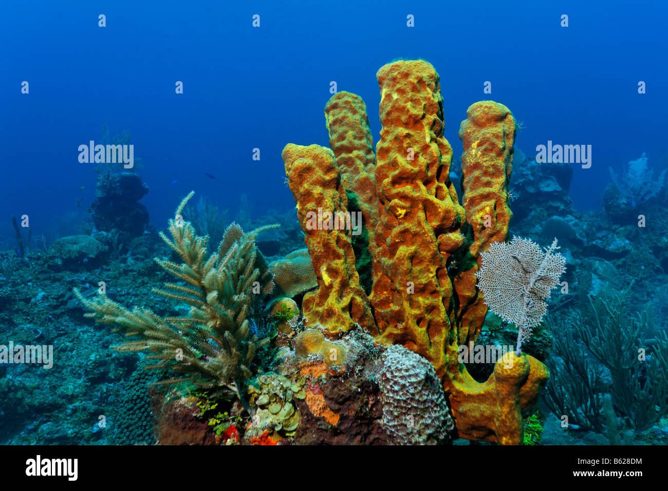 Ofen Rohr Schwamm (Aplysina SP.) unter einer Vielzahl von anderen wachsen Riff Korallen auf einer Koralle, Barrier Stockbild