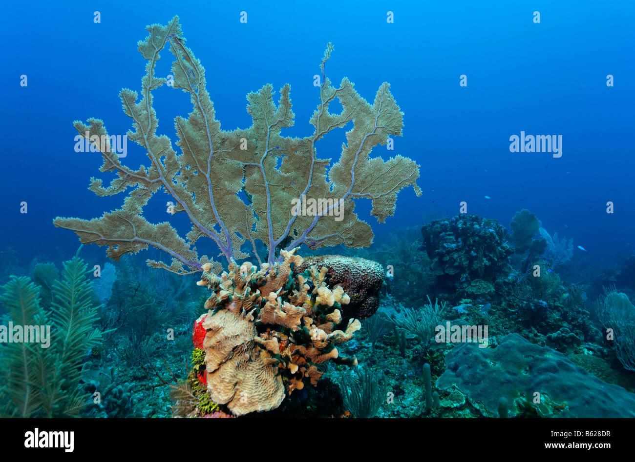 Gemeinsamen Meer Korallenriff Fan (Gorgonia Ventalina) wächst auf einem hoch aufragenden Block von Korallen Stockbild