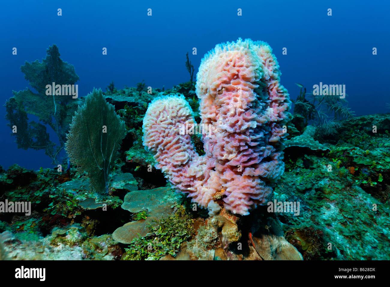 Azure Vase Schwamm (Callyspongia Plicifera) wachsen neben einer Vielzahl von anderen Korallen an einem Korallenriff, Stockbild