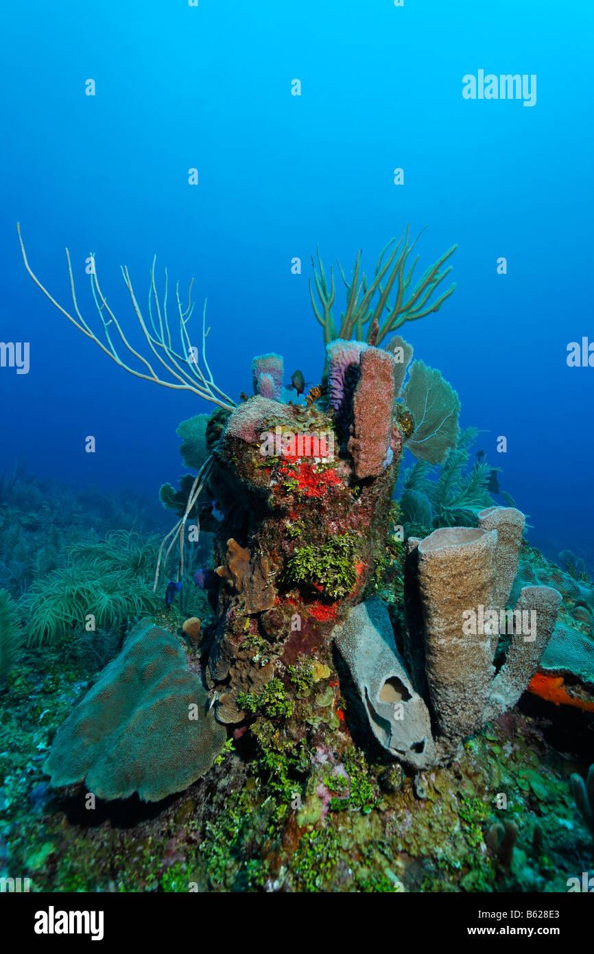 Block von Korallen bedeckt mit einer Vielzahl von Schwämmen (Demospongiae), Korallen und Algen Halimeda (Halimeda Stockbild