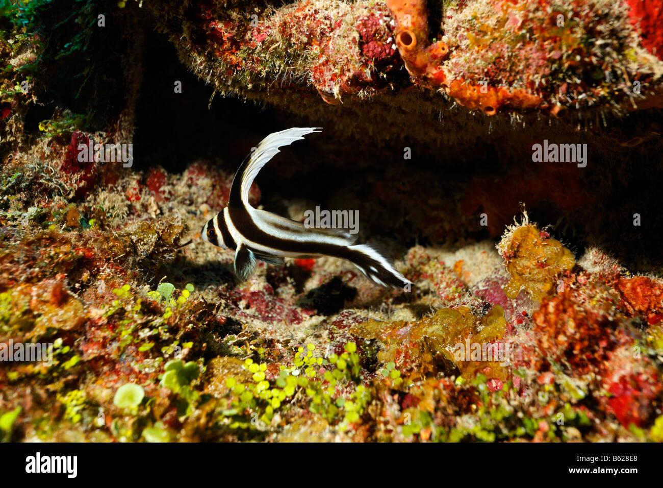 Jack-Knifefish (Equetus Lanceolatus) vor seinem Versteck in einem Korallenriff Barrier Reef, San Pedro, Ambergris Stockbild