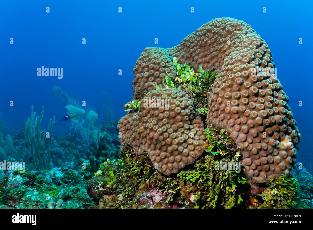 Spalte von Korallen und Halimeda Algen (Halimeda SP.) an einem Korallenriff, Barriere Riff, San Pedro, Ambergris Stockbild