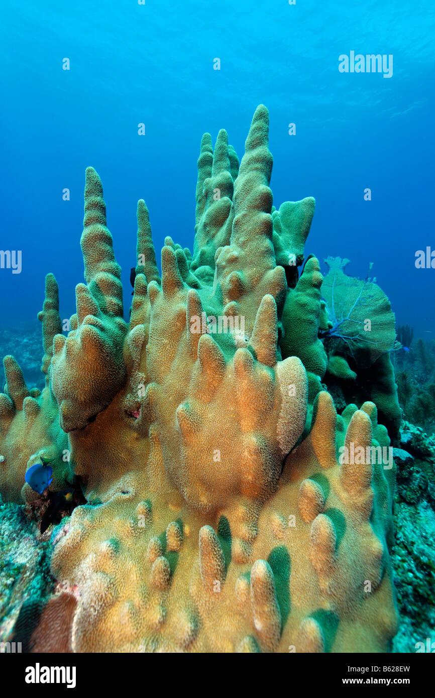Säule (Dendrogyra Cylindricus) Korallen, Korallenriff, Barrier Reef, San Pedro, Ambergris Cay Insel, Belize, Stockbild