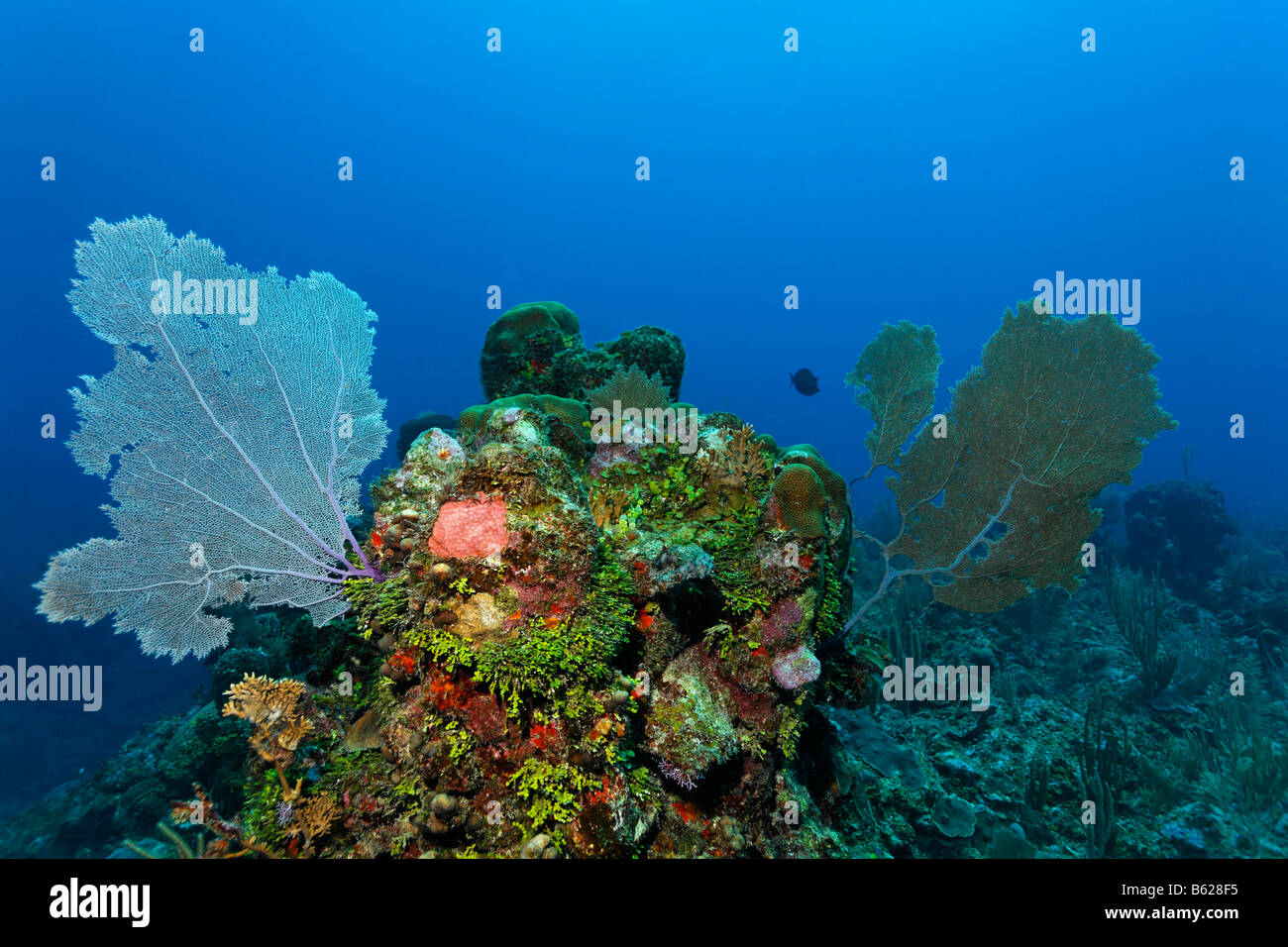 Coral Reef oder Barrier Reef lebendig mit Gorgonien, Korallen (Gorgonia Flabellum), Halimeda Algen (Halimeda s.) Stockbild