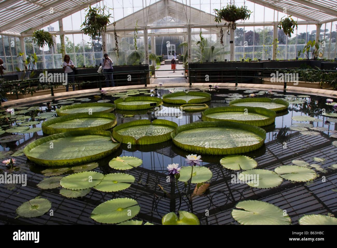 Riesen Wasser Lilien in Waterlily House in Kew Gardens Stockbild