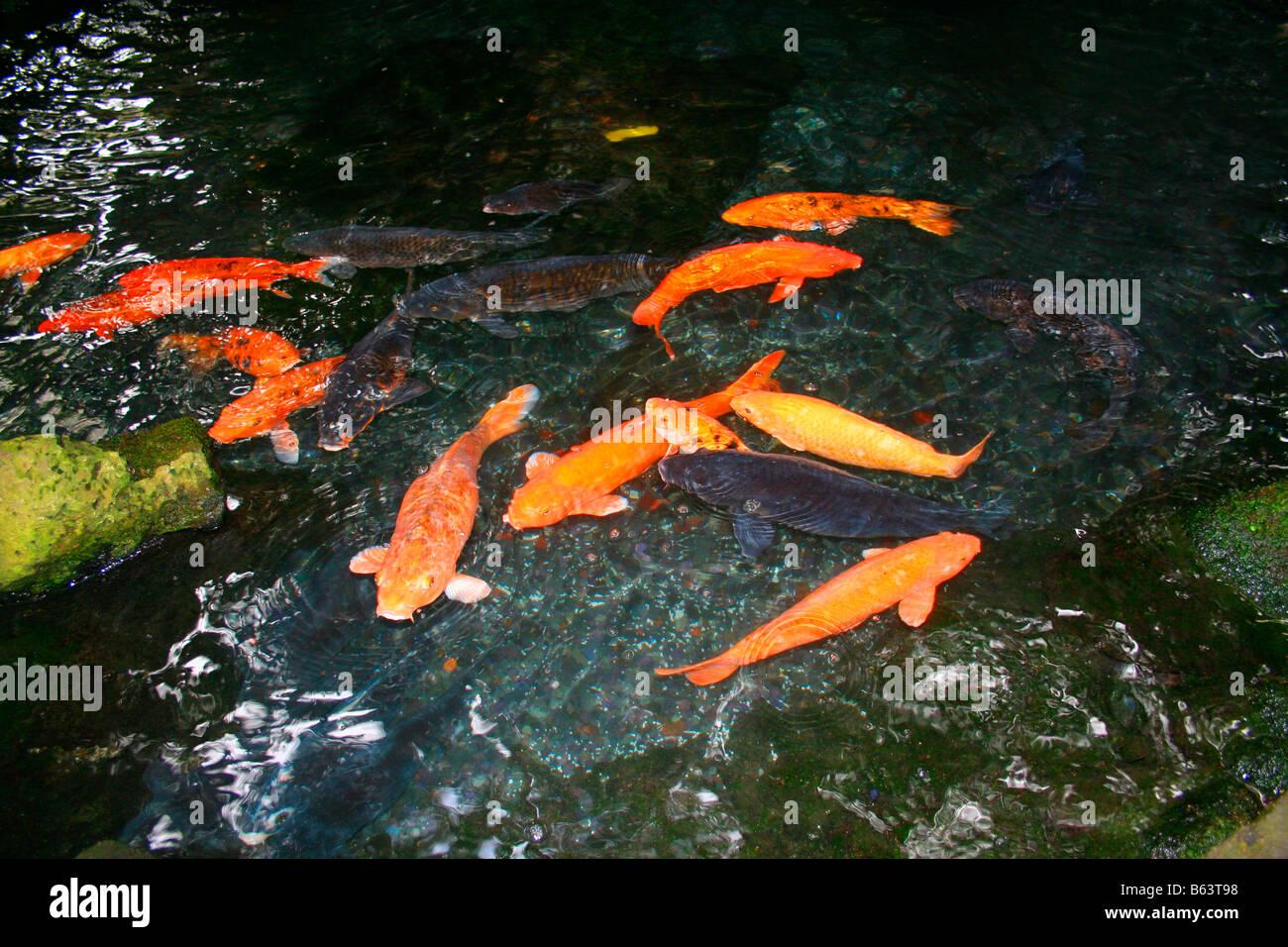 Koi swimming in fish pond stockfotos koi swimming in for Koi pool lancashire