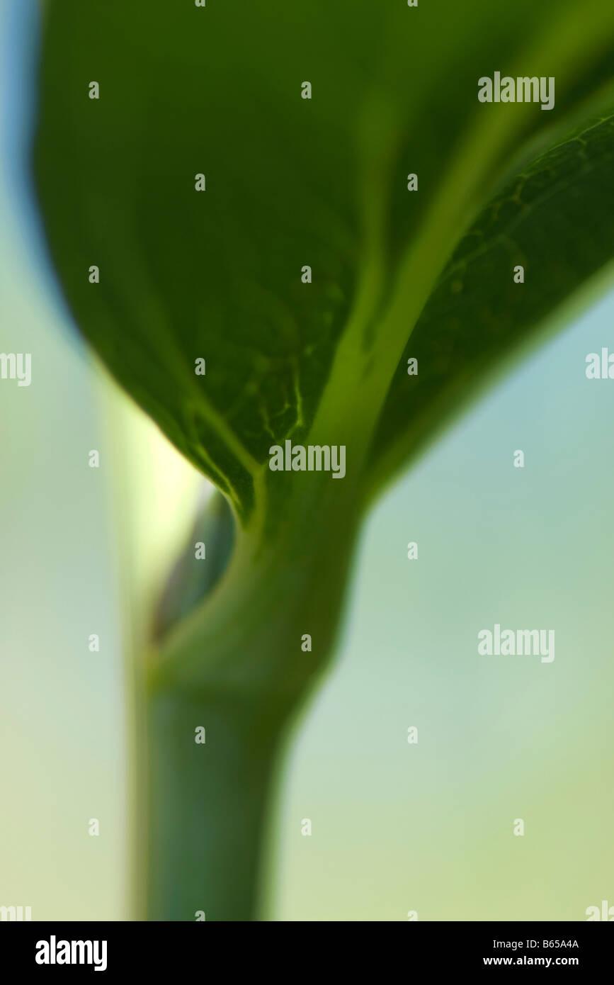 Unterseite der Blätter wachsen am Stamm, extreme Nahaufnahme Stockbild