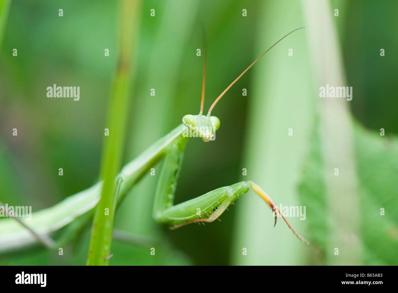Gottesanbeterin, die teilweise versteckt im grünen Stockbild