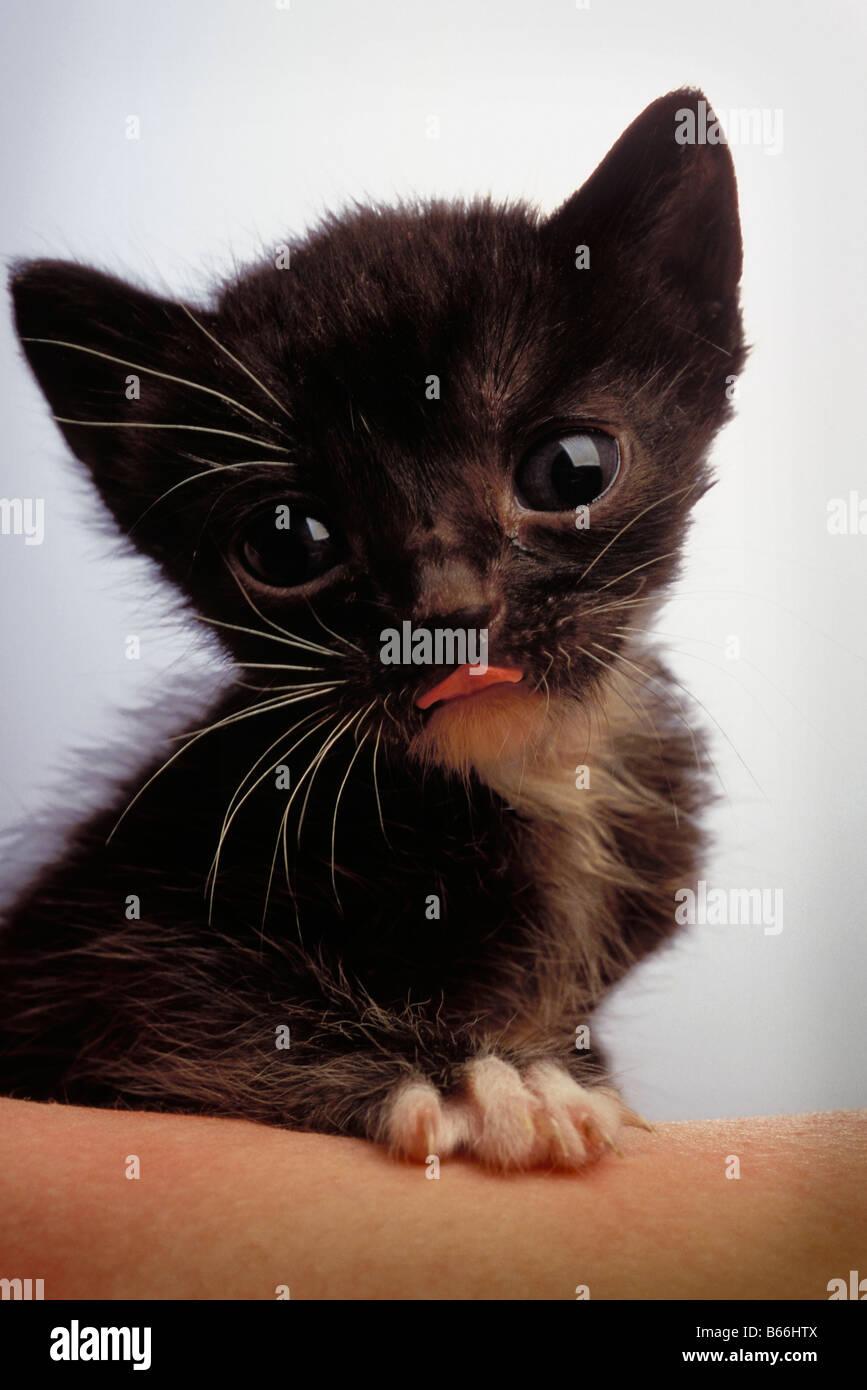 Kleine Katze, die Zunge heraus und auf der Suche in die Kamera Stockbild
