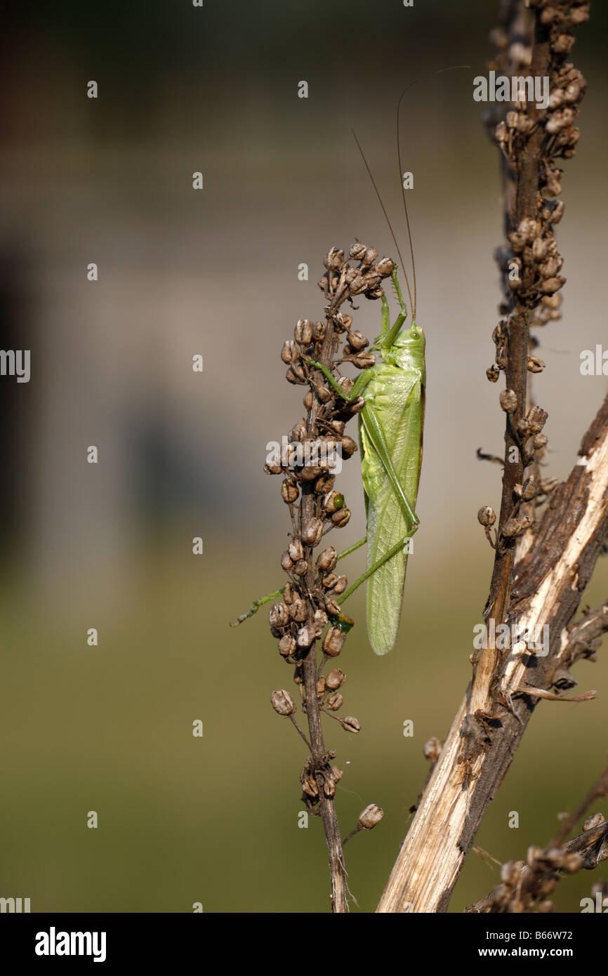 Große grüne Bush Cricket Tettigonia Viridissima in der Nähe von Koprivschtiza Stockbild